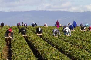 Migrant farm workers in strawberry fields